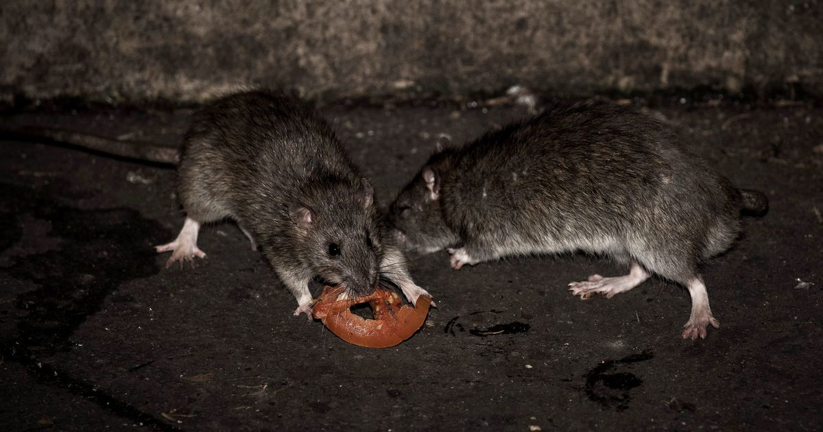 And Now An Army Of Rats