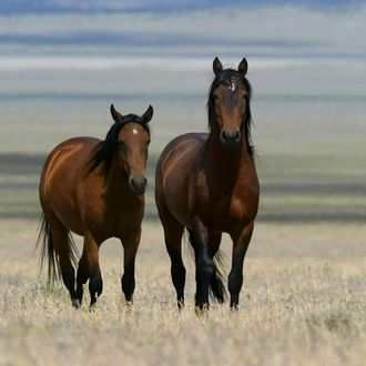 Two wild horses walk through a field July 7, 2005 in Eureka, Nevada. The Bureau of Land Management is gathering wild horses in the American West, where an estimated 37,000 wild horses roam free. Many of the horses that are gathered are put up for adoption while others are treated with birth control and released back to the wild.EUREKA, NV - JULY 07: Two wild horses walk through a field July 7, 2005 in Eureka, Nevada. The Bureau of Land Management is gathering wild horses in the American West, where an estimated 37,000 wild horses roam free. Many of the horses that are gathered are put up for adoption while others are treated with birth control and released back to the wild. (Photo by Justin Sullivan/Getty Images)