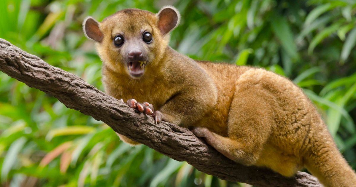 kinkajou report 'banana', the mischievous kinkajou who escaped from her cage and gave a florida woman the fright of her life this week, has been recaptured and reunited with her owner.