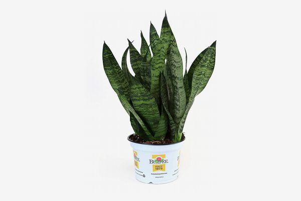 Burpee Snake Plant (Sansevieria zeylanica superba) in Grower's Pot