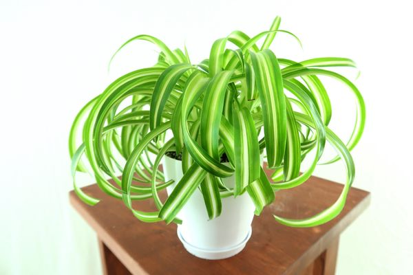 Curly Spider Air Purifying Plant