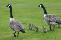 MELTON MOWBRAY, ENGLAND - MAY 12:  Canada Geese and goslings walk across the course during the first round of the Handa Senior Masters presented by the Stapleford Forum played at Stapleford Park on May 12, 2010 in Melton Mowbray, England.  (Photo by Phil Inglis/Getty Images)