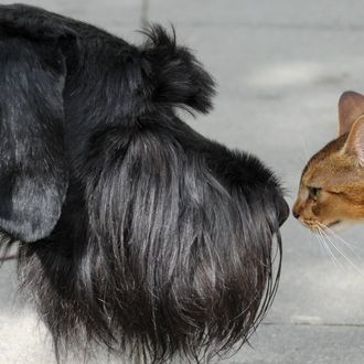 A Giant Schnauzer and a cat check each other out