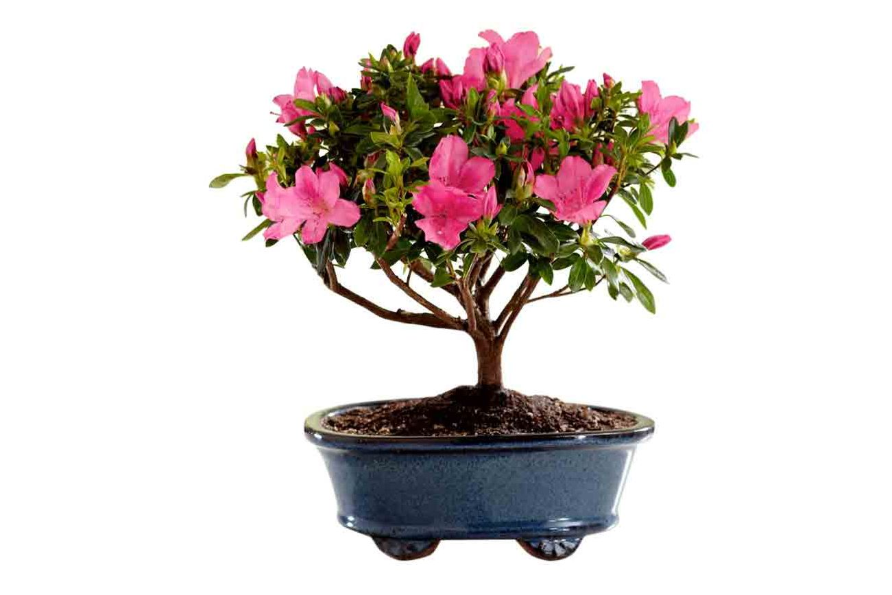 Mother 39 s day flower delivery 2017 for 1800 flowers bonsai