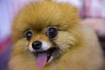 A Pomeranian dog is pictured on the first day of the Crufts dog show at the National Exhibition Centre in Birmingham, central England, on March 5, 2015.