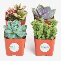 Shop Succulents Variety Pack, Four Mini Succulents in 2-Inch Square Pots