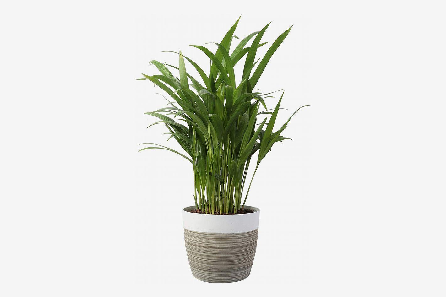 Costa Farms Live Areca Palm