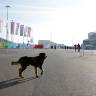 A dog walks in the Olympic Park on Day 1 of the 2014 Winter Olympics on February 8, 2014 in Sochi, Russia.