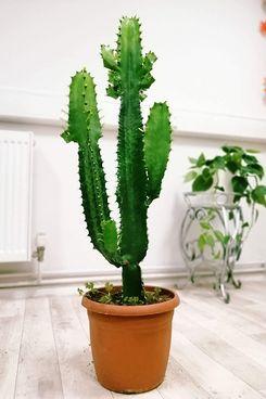 Large Cactus Euphorbia