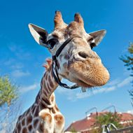 A Giraffe is photographed in front of a blue sky at the Berolina Circus  in Berlin on October 11, 2012.  AFP PHOTO / ROBERT SCHLESINGER   GERMANY OUT        (Photo credit should read ROBERT SCHLESINGER/AFP/GettyImages)