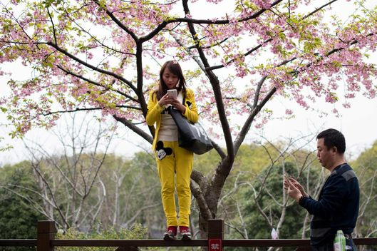 Cherry Blossom Festival in Gucun Park in northern Shanghai on March 18, 2015.