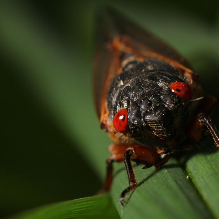 A cicada alights on a plant in Fairfax Station, Virginia, U.S., on Saturday, May 18, 2013. After 17 years of living underground, millions of cicadas are emerging on the U.S. East Coast. Members of brood 2 have not been seen in the region since 1996 and will be omnipresent for a few weeks - just long enough to breed and die.