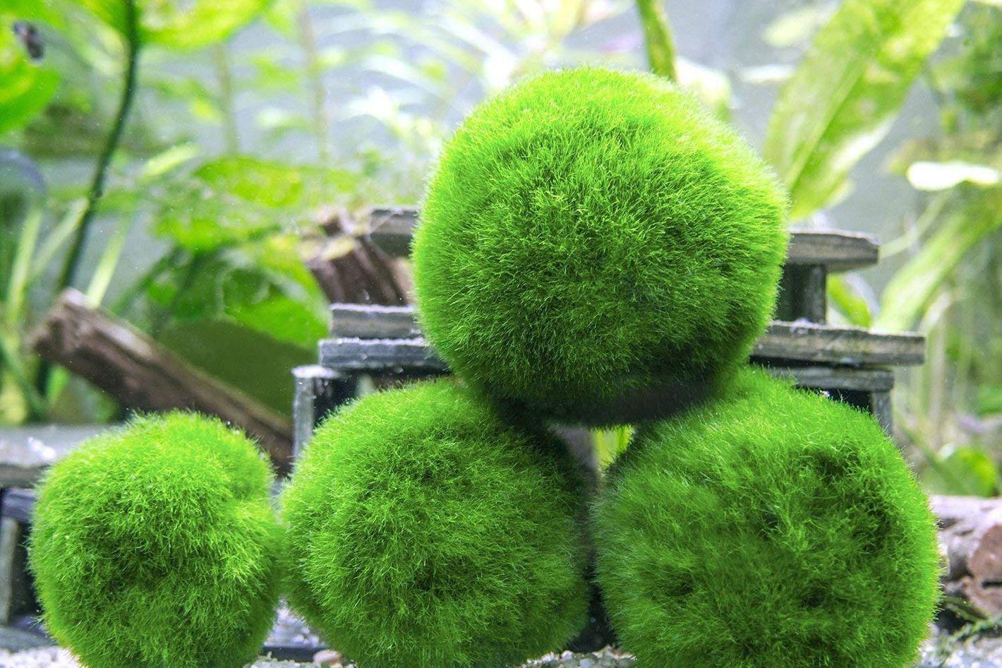 Marimo Moss Balls (<em>Aegagropila linnaei</em>)