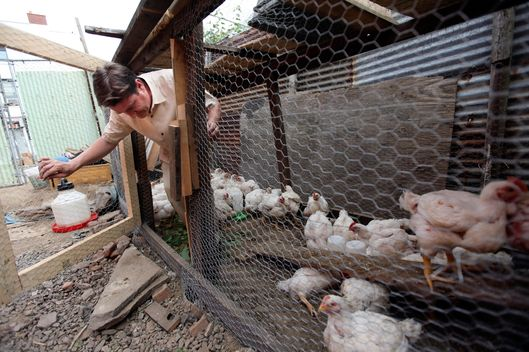 Declan Walsh spent about $300 to build a coop and a fenced-in chicken run to raise broiler hens Brooklyn in July 2009. Walsh is raising broiler hens in Brooklyn this year and estimates that each will cost him $8 over its lifetime. As Americans try to safeguard themselves from what they fear will be even worse times ahead, some are raising chickens. As a backyard chicken trend sweeps the country, hatcheries that supply baby chicks say they can barely keep up with demand. Do-it-yourself coops have popped up in places as disparate as Brooklyn, suburban Chicago and the rural West. (Chang W. Lee/The New York Times)