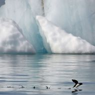 A little auk (Alle-alle) flies near the Kronebeene glacier in the Svalbard archipelago, in the Arctic Ocean, on July 21, 2015.