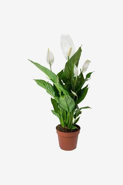 Spathiphyllum 'Peace Lily' House Plant