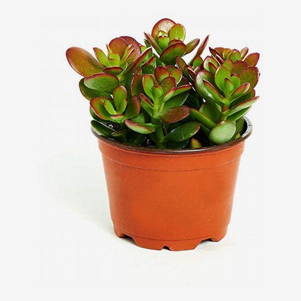 Shop Succulents Jade Plant in 4-Inch Grow Pot