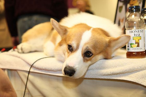 "He actually had a sign up with his website: <a href=""http://smilingcorgi.com"">smilingcorgi.com</a>. ""He's too tired to smile. He's been here since seven this morning, and he didn't win anything, but he showed beautifully,"" said his owner. ""This is his more pensive look."""
