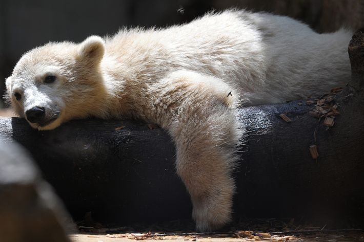 30 May 2012, Wuppertal, Germany --- Polar bear baby Anori lies in the sunshine in his enclosure at the zoo in Wupperal, Germany, 30 May 2012. Anori was born on 04 January 2012 at the zoo in Wuppertal. Photo: Federico Gambarini --- Image by ? Federico Gambarini/dpa/Corbis