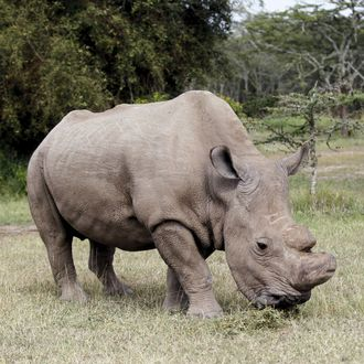 The last surviving male northern white rhino named 'Sudan' grazes at the Ol Pejeta Conservancy in Laikipia national park, Kenya