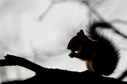 A squirrel eats an acorn on January 22, 2011 in Corbetta.   AFP PHOTO / OLIVIER MORIN (Photo credit should read OLIVIER MORIN/AFP/Getty Images)