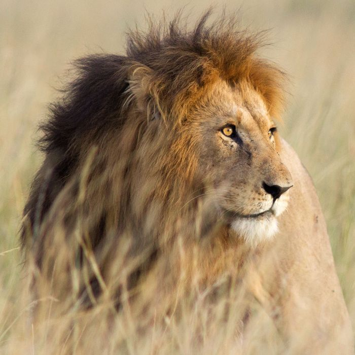 A Bunch of Female Lions Have Turned Into Male Lions
