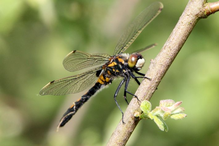 Some Female Dragonflies Fake Death To Avoid Males