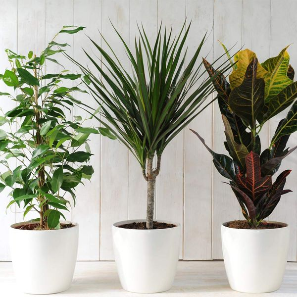 Evergreen Indoor House Plants Lucky Dip x 3