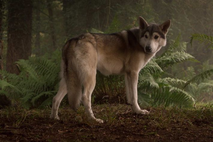nymeria the direwolf what s she been up to on thrones. Black Bedroom Furniture Sets. Home Design Ideas