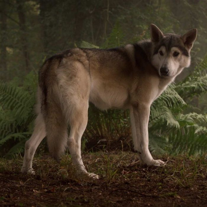A Lady And Her Dire Wolf: Nymeria The Direwolf: What's She Been Up To On 'Thrones'?