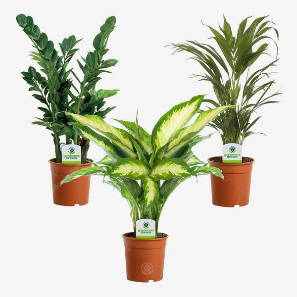 Indoor Plant Mix - 3 Plants