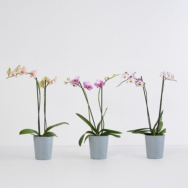 The Bouqs Farmer's Choice Orchid