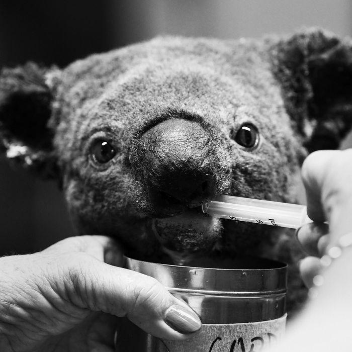 Bushfires are ravaging Australia, threatening the koala population.