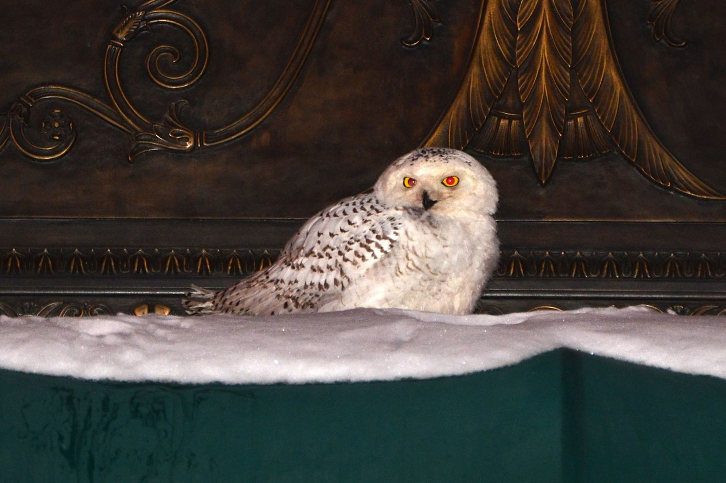 A snowy owl sits on the awning of an office building in downtown Washington, DC January 22, 2014 as the US capital reopened for business on Wednesday amid below average temperatures. Snowy Owls, reportedly found in the northern circumpolar region, are a rare sighting in the metro area.