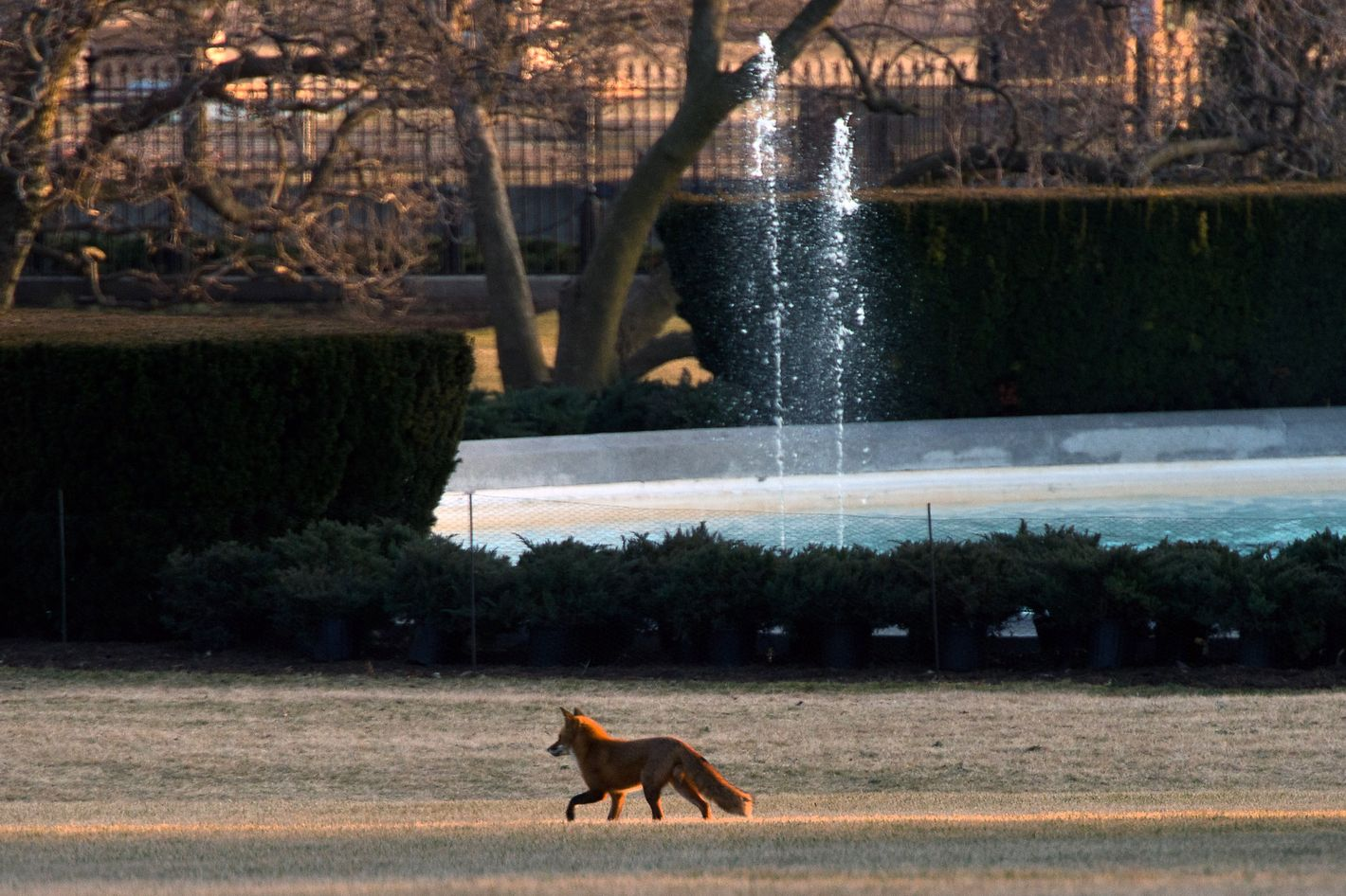 A fox runs across the South Lawn of the White House in Washington on February 7, 2014 prior to the return of US President Barack Obama from Lansing, Michigan.
