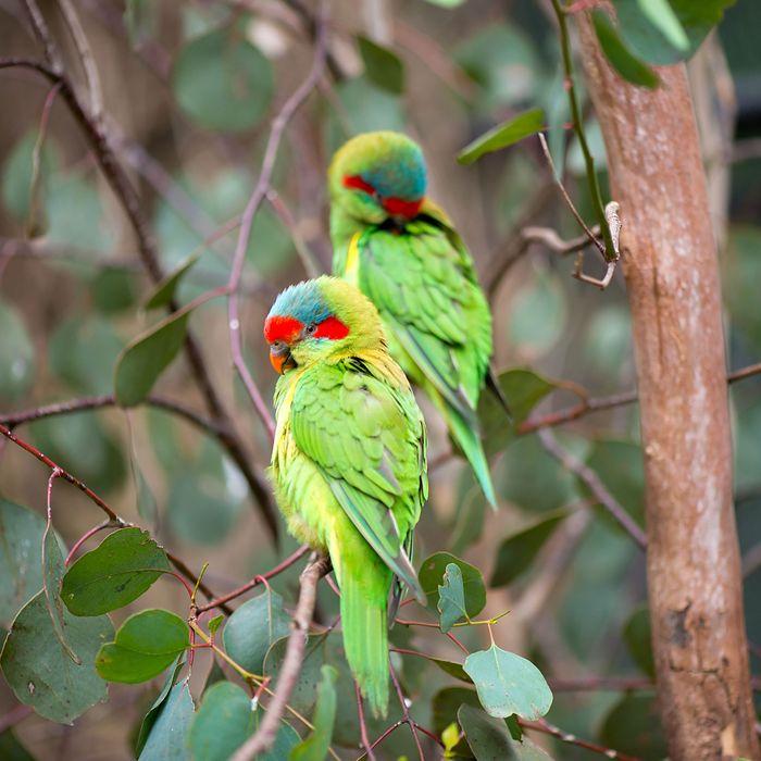 Swift Parrots.
