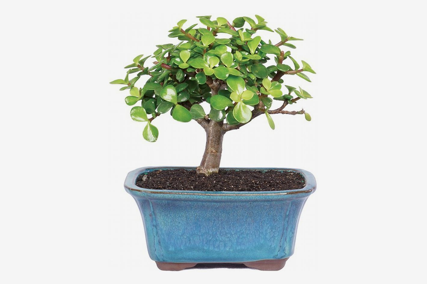 Brussel's Live Dwarf Jade Indoor Bonsai Tree