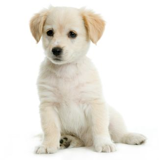 Puppy  Labrador retriver cream in front of white background and facing the camera
