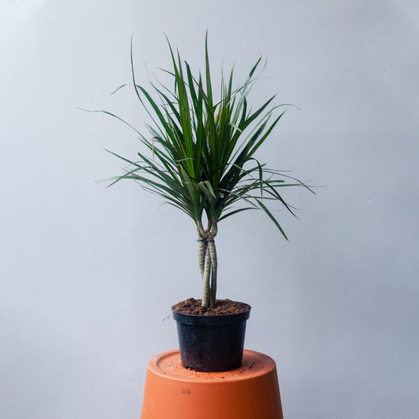 Natty Garden Dracaena Braided Plant