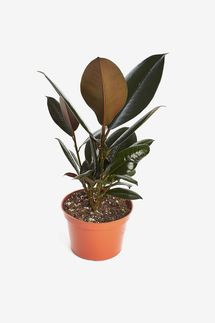 Shop Succulents Ficus Burgundy Rubber Tree in 6