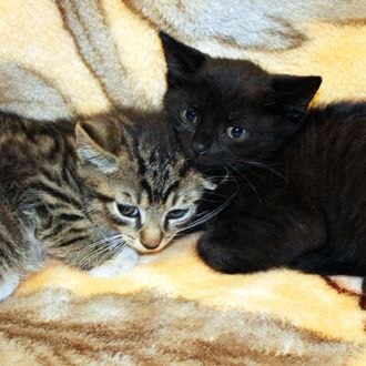 new photos of August and Arthur, the two kittens rescued from the train tracks yesterday in Brooklyn. August, the black one, and Arthur, the tabby, are male, 8-week-old kittens. Photos should be credited to Animal Care and Control of NYC (AC&C).