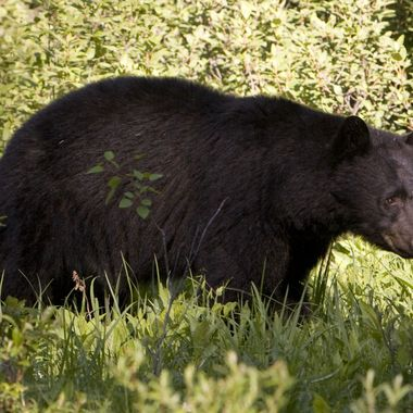 BANFF SPRINGS, ALBERTA, CANADA - 2009:  A female black bear forages in the forest along the Bow River Parkway for food as seen in this 2009 Banff Springs, Canada, summer morning landscape photo.  (Photo by George Rose/Getty Images)