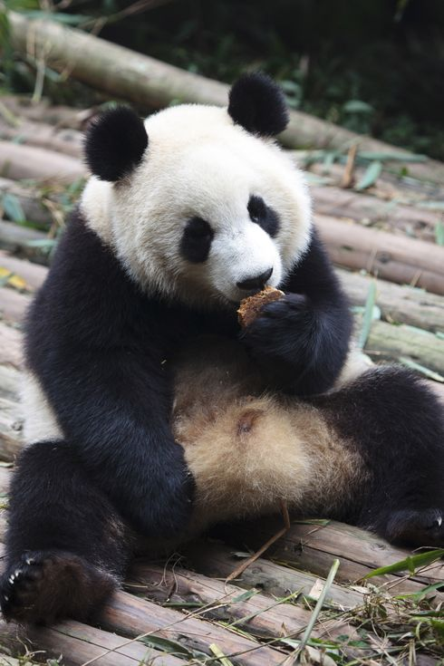 Cute Giant Panda Eating