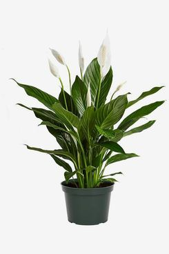 American Plant Exchange Peace Lily