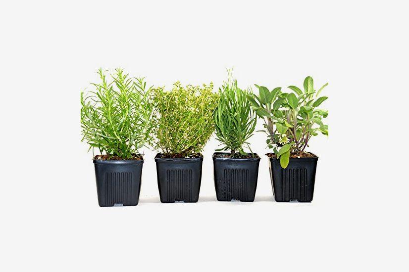 Stargazer Perennials Organic Herbs De Provence Collection, (Rosemary, Lavender, Sage, Thyme)