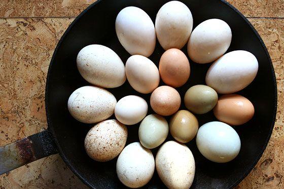 eggs essay