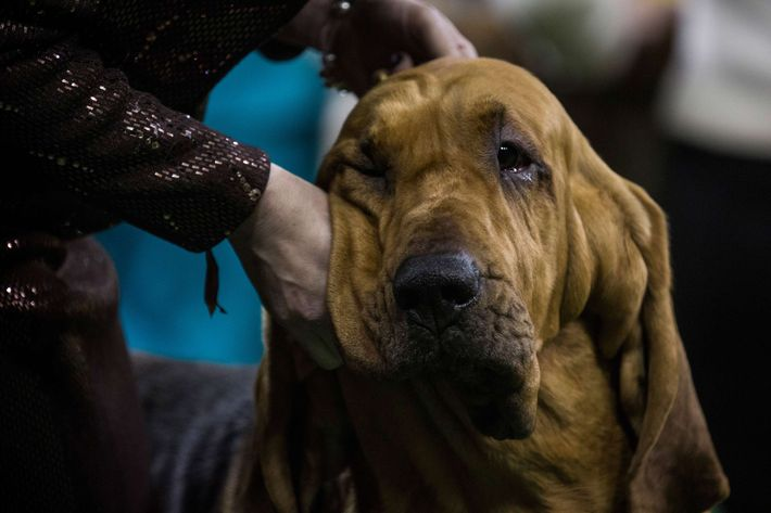 A Bloodhound Named Nathan Wire Fox Terrie...