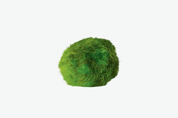 Mini Marimo 'Moss' Ball