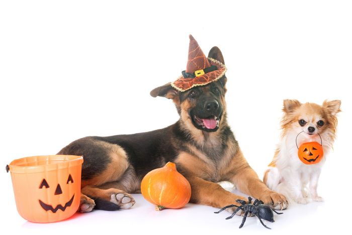 Two dogs with Halloween gear.