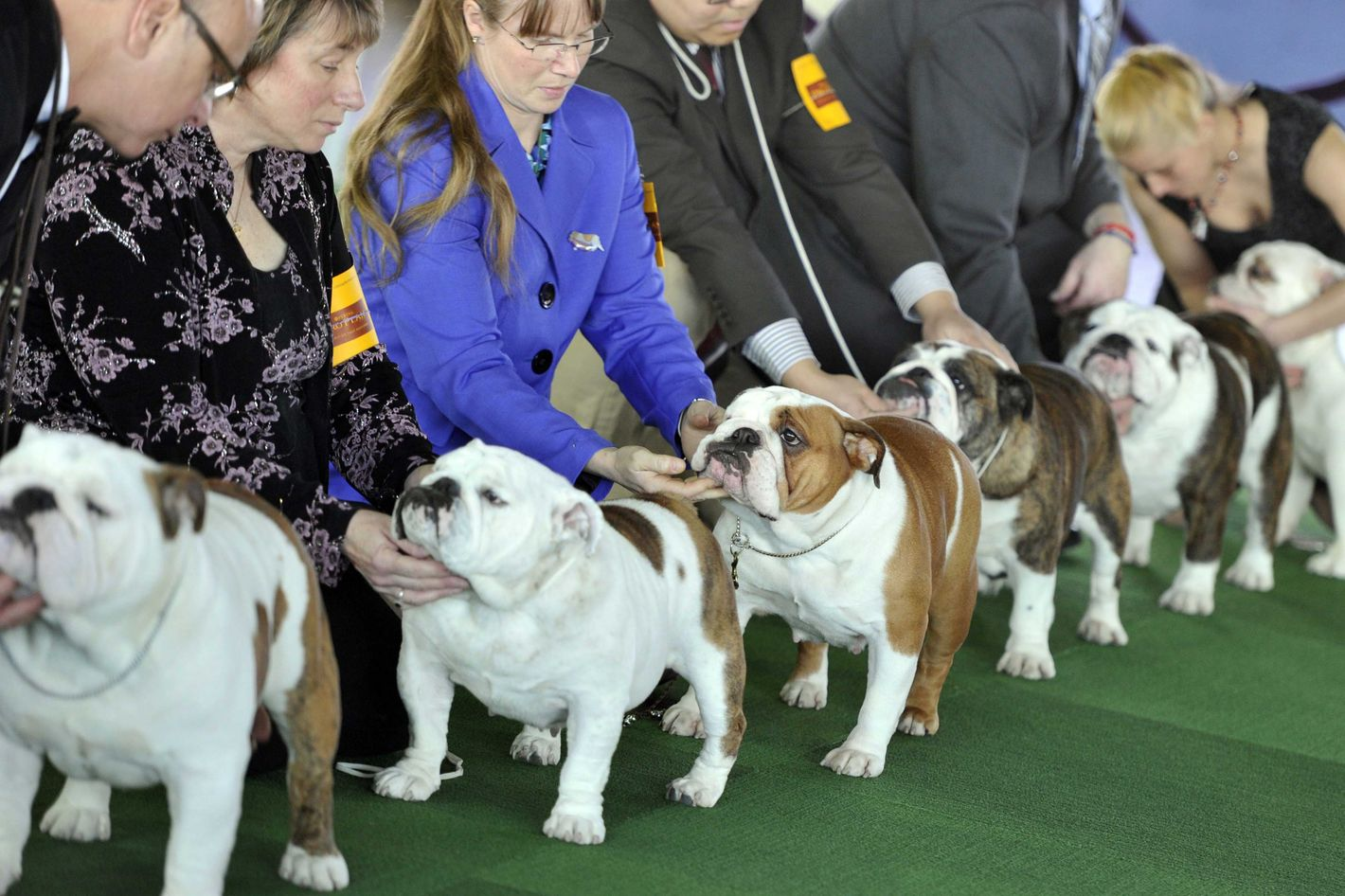Bulldogs in the judging ring at Pier 92 and 94 in New York City  for the first day of competition  at the 138th Annual Westminster Kennel Club Dog Show February 10, 2014. The Westminster Kennel Club Dog Show is a two-day, all-breed benched  show that takes place at both Pier 92 and 94 and at Madison Square Garden in New York City .     AFP PHOTO / Timothy Clary        (Photo credit should read TIMOTHY CLARY/AFP/Getty Images)